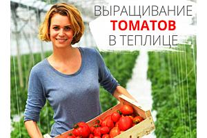 Посадка и выращивание помидоров (томатов) в теплице